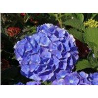 Blütensträucher und Ziergehölze - Ballhortensie 'Renate Steiniger', 30-40 cm, Hydrangea macrophylla 'Renate Steiniger', Containerware