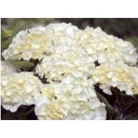 Blütensträucher und Ziergehölze - Ballhortensie Saxon ® 'Bright White', 30-40 cm, Hydrangea macrophylla Saxon ® 'Bright White', Containerware