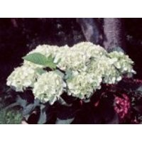 Blütensträucher und Ziergehölze - Ballhortensie 'Soeur Therese', 30-40 cm, Hydrangea macrophylla 'Soeur Therese', Containerware