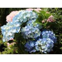 Blütensträucher und Ziergehölze - Ballhortensie 'Three Sisters' ® (Blau), 30-40 cm, Hydrangea macrophylla 'Three Sisters' ® (Blau), Containerware