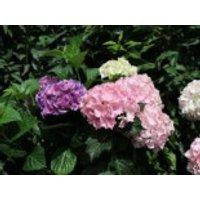 Blütensträucher und Ziergehölze - Ballhortensie 'Three Sisters' ® (Pastell), 30-40 cm, Hydrangea macrophylla 'Three Sisters' ® (Pastell), Containerware