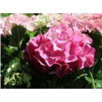 Blütensträucher und Ziergehölze - Ballhortensie 'Three Sisters' ® (Pink), 30-40 cm, Hydrangea macrophylla 'Three Sisters' ® (Pink), Containerware