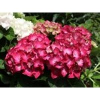 Blütensträucher und Ziergehölze - Ballhortensie 'Three Sisters' ® (Violett), 30-40 cm, Hydrangea macrophylla 'Three Sisters' ® (Violett), Containerware