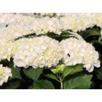 Blütensträucher und Ziergehölze - Ballhortensie Everbloom ® 'White Wonder', 20-30 cm, Hydrangea macrophylla Everbloom ® 'White Wonder', Containerware