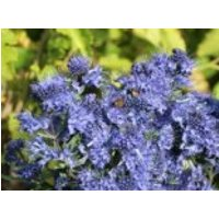 Bartblume 'Blue Balloon' ®, 30-40 cm, Caryopteris clandonensis 'Blue Balloon' ®, Containerware