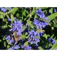 Blütensträucher und Ziergehölze - Bartblume 'Kew Blue', 30-40 cm, Caryopteris clandonensis 'Kew Blue', Containerware
