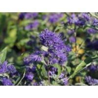 Blütensträucher und Ziergehölze - Bartblume 'Thetis', 30-40 cm, Caryopteris clandonensis 'Thetis', Containerware