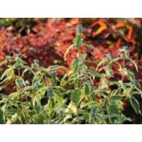 Blütensträucher und Ziergehölze - Bartblume 'White Surprise', 30-40 cm, Caryopteris clandonensis 'White Surprise', Containerware