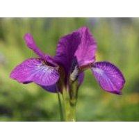 Bartlose Schwertlilie 'Sparkling Rose', Iris sibirica 'Sparkling Rose', Topfware