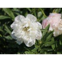 Bauerngarten-Pfingstrose 'Alba Plena', Paeonia officinalis 'Alba Plena', Topfware