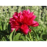 Bauerngarten-Pfingstrose 'Rubra Plena', Paeonia officinalis 'Rubra Plena', Topfware