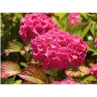 Blütensträucher und Ziergehölze - Bauernhortensie 'Alpenglühen', 15-20 cm, Hydrangea macrophylla 'Alpenglühen', Containerware