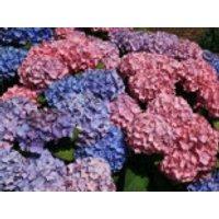 Blütensträucher und Ziergehölze - Ballhortensie 'Bouquet Rose', 20-30 cm, Hydrangea macrophylla 'Bouquet Rose', Containerware
