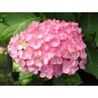 Blütensträucher und Ziergehölze - Ballhortensie 'Hamburg', 20-25 cm, Hydrangea macrophylla 'Hamburg', Containerware