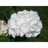 Blütensträucher und Ziergehölze - Ballhortensie 'Nymphe', 30-40 cm, Hydrangea macrophylla 'Nymphe', Containerware