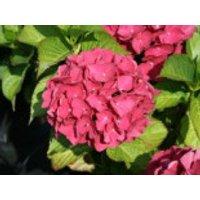 Blütensträucher und Ziergehölze - Ballhortensie 'Red Baron', 20-30 cm, Hydrangea macrophylla 'Red Baron', Containerware