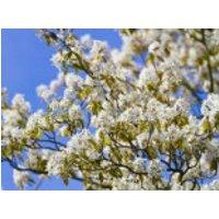 Baum-Felsenbirne 'Robin Hill', 60-100 cm, Amelanchier arborea 'Robin Hill', Containerware