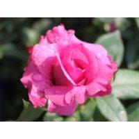 Beetrose 'Blue Parfum' ®, Rosa 'Blue Parfum' ®, Containerware