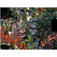Berberitze 'Red Jewel', 20-30 cm, Berberis media 'Red Jewel', Containerware