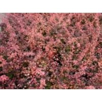 Berberitze 'Rose Glow', 30-40 cm, Berberis thunbergii 'Rose Glow', Containerware