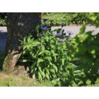 Berg-Flockenblume, Centaurea montana, Containerware