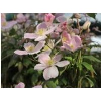Berg-Waldrebe 'Fragrant Spring', 60-100 cm, Clematis montana 'Fragrant Spring', Containerware