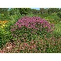 Bergamotte Indianernessel, Monarda fistulosa var. menthifolia, Topfware