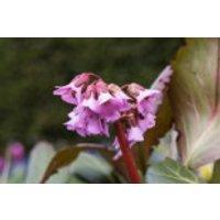 Bergenie 'Rosi Klose', Bergenia cordifolia 'Rosi Klose', Topfware