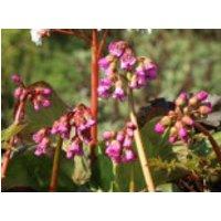 Bergenie 'Winterglut', Bergenia cordifolia 'Winterglut', Containerware