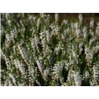 Besenheide 'Long White', 10-15 cm, Calluna vulgaris 'Long White', Topfware