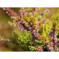 Besenheide 'Orange Queen', 10-15 cm, Calluna vulgaris 'Orange Queen', Topfware