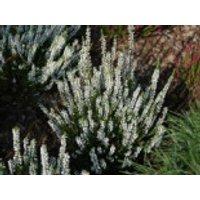 Besenheide / Sommerheide 'Alicia' -S-, 10-15 cm, Calluna vulgaris 'Alicia' -S-, Topfware