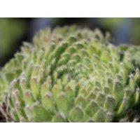 Bewimperte Kugel-Steinrose 'Borisii', Sempervivum ciliosum 'Borisii', Topfware