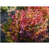 Blütensträucher und Ziergehölze - Birkenblättrige Spiere, 15-20 cm, Spiraea betulifolia, Containerware