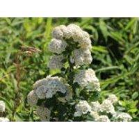 Blütensträucher und Ziergehölze - Birkenblättrige Spiere 'Tor', 20-30 cm, Spiraea betulifolia 'Tor', Containerware