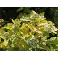 Blütensträucher und Ziergehölze - Blasenspiere 'Angel Gold' ®, 20-30 cm, Physocarpus opulifolius 'Angel Gold' ®, Containerware