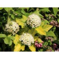 Blütensträucher und Ziergehölze - Blasenspiere / Gelbe Blasenspiere 'Dart's Gold', 40-60 cm, Physocarpus opulifolius 'Dart's Gold', Containerware