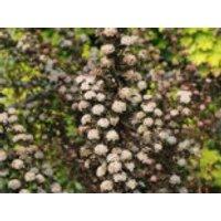 Blütensträucher und Ziergehölze - Blasenspiere Proven Winners ® 'Tiny Wine' ®, 20-30 cm, Physocarpus opulifolius Proven Winners ® 'Tiny Wine' ®, Containerware