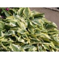 Gehölzrand - Zweifarbige Herzblattlilie 'Wide Brim', Hosta sieboldiana 'Wide Brim', Containerware