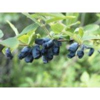 Blaue Heckenkirsche, 10-20 cm, Lonicera caerulea, Jungpflanzen (Topf)