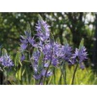 Blaue Prärielilie 'Caerulea', Camassia leichtlinii 'Caerulea', Containerware