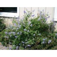 Blaue Säckelblume  'Glorie de Versailles', 40-60 cm, Ceanothus delilianus 'Glorie de Versailles', Containerware