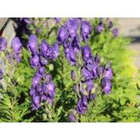 Blauer Eisenhut, Aconitum napellus, Containerware