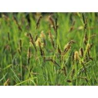 Blaugrüne Segge, Carex flacca, Topfware
