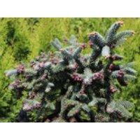 Blaugrüne Spanische Tanne 'Glauca', 30-40 cm, Abies pinsapo 'Glauca', Containerware