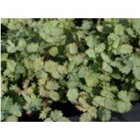 Blaugrünes Stachelnüsschen, Acaena buchananii, Topfware