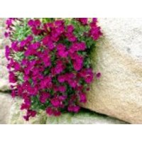 Blaukissen 'Bressingham Red', Aubrieta x cultorum 'Bressingham Red', Topfware