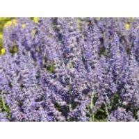 Blütensträucher und Ziergehölze - Blauraute 'Lacey Blue' ®, 20-30 cm, Perovskia atriplicifolia 'Lacey Blue'  ®, Containerware