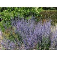 Blütensträucher und Ziergehölze - Blauraute 'Little Spire', 10-20 cm, Perovskia atriplicifolia 'Little Spire', Containerware