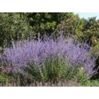Blütensträucher und Ziergehölze - Blauraute / Silberbusch, 20-30 cm, Perovskia abrotanoides, Containerware